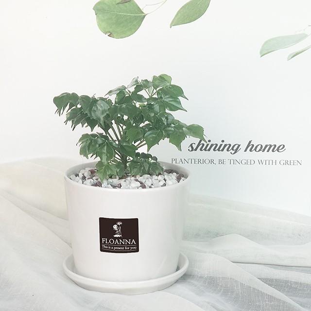 우리집 반려식물 해피트리(스노우 화이트 중형 도자기화분)