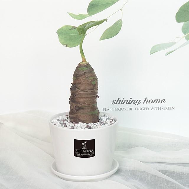 우리집 반려식물 알로카시아(스노우 화이트 중형 도자기화분)