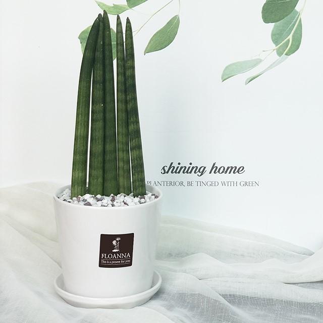 우리집 반려식물 스투키(일자형)(스노우 화이트 중형 도자기화분)