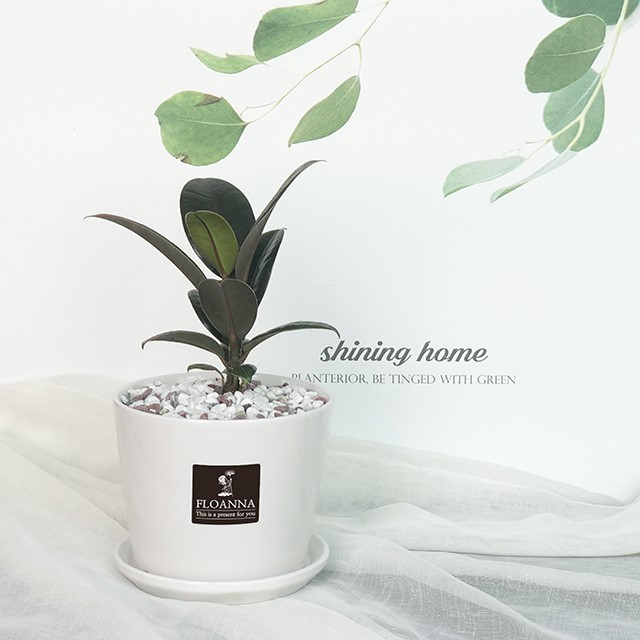 우리집 반려식물 고무나무(스노우 화이트 중형 도자기화분)
