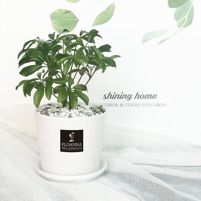우리집 반려식물 홍콩야자(스노우 화이트 중형 도자기화분)